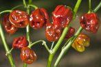 Habanero Cappucchino chili paprika mag