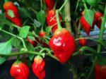Habanero Tasmanian Red