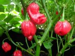 Aji Dulce chili paprika mag