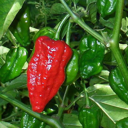 Naga Morich chili paprika mag